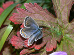 Polyommatus bellargus (Himmelblauer Bläuling, Weibchen) / CH VS Felsensteppe 1500 , 07. 10. 2010