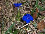 Gentiana verna (Frühlings-Enzian) / Gentianaceae