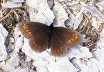 Erebia alberganus (Gelbäugiger oder Mandeläugiger Mohrenfalter, Weibchen) / CH VS Felsensteppe, 16. 06. 2006