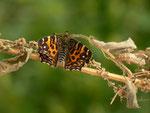 Araschnia levana (Landkärtchen, Frühlingsform, frisch geschlüpft aus Zucht) / CH BE Hasliberg
