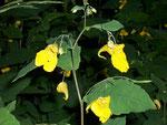 Impatiens-noli-tangere (Springkraut oder Rühr-mich-nicht-an) / Balsamicaceae