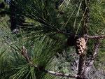 Pinus canariensis (Kanarische Kiefer) / Pinaceae