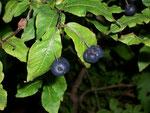 Lonicera caerulea (Blaue Heckenkirsche) / Caprifoliaceae
