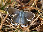 Polyommatus bellargus (Himmelblauer Bläuling, Weibchen) / CH VS Val d'Anniviers St-Luc Tignousa 2180 m, 11. 10. 2012