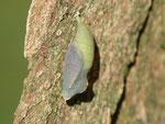 Lasiommata maera (Braunauge) / CH BE Hasliberg, 25. 06. 2015 (Zuchtpuppe)