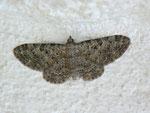 Eupithecia impurata (Felsrasen-Glockenblumenspanner) / CH BE Hasliberg 1050 m, 30. 07. 2012