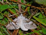 Aplocera praeformata (Johanniskrautspanner) / CH BE Hasliberg 1240 m, 29. 07. 2013