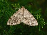 Deileptenia ribeata (Moosgrüner Rindenspanner, Weibchen) / CH Hasliberg 1050 m, 21. 07. 2011