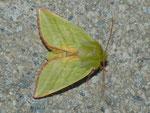 Pseudoips prasinana (Buchen-Kahneule) / CH BE Hasliberg 1050 m, 17. 06. 2013