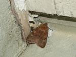 Cerastis leucographa (Gelbfleck-Frühlings-Bodeneule, Weibchen) /CH BE Hasliberg 1050 m, 14. 05. 2013