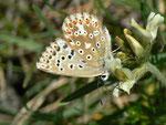 Polyommatus coridon (Silbergrüner Bläuling, Weibchen) / CH VS Val d'Anniviers Zinal Arolec 2006 m, 04. 07. 2011