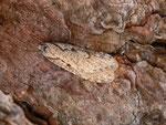 Semioscopis avellanella / CH BE Hasliberg Hohfluh 1050 m, 19. 03. 2014