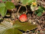 Fragaria vesca (Erdbeere) / Rosaceae