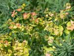 Euphorbia (Wolfsmilch) / Euphorbiaceae (Pflanze vom Rhônekanal bei Avignon)