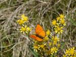 Lycaena virgaureae (Dukatenfalter, Männchen) / CH TI Serravalle, Dagro, Alpe di Prou 2010 m, 27. 07. 2017