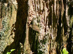 Hydria (Rheumaptera) undulata (Wellenspanner) / CH OW Pilatusgebiet Märenschlag 1280 m, 21. 06. 2014