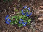 Pulmonaria (Lungenkraut) / Boraginaceae