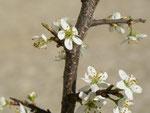 Prunus spinosa (Schlehdorn) / Rosaceae