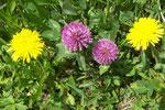 Trifolium pratense (Rotklee) / Lamiaceae