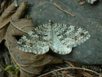 Entephria caesiata (Veränderlicher Gebirgs-Blattspanner) / CH BE Hasliberg 1240 m, 16. 06. 2014