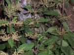 Urtica dioica (Grosse Brennnessel) / Urticaceae