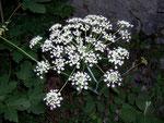 Laserpitium latifolium (Breitblättriges Laserkraut) / APIACEAE
