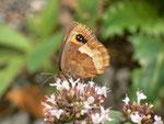Erebia aethiops  (Graubindiger Mohrenfalter, Weibchen) / CH BE Hasliberg 1240 m, 10. 08. 2015