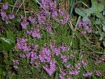Calluna vulgaris (Besenheide) / Ericaceae