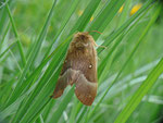 Lasiocampa quercus (Eichenspinner) / CH UR Brunnital 1120 m, 15. 07. 2013