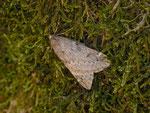 Alsophila aescularia (Frühlings-Kreuzflügel, Flügel-Unterseite) / CH BE Hasliberg 1240 m, 17. 03. 2014