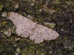 Hypomecis punctinalis (Aschgrauer Rindenspanner) / CH TI Verscio 680 m, 23. 05. 2013