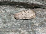 Epipsilia grisescens (Bergwiesen-Bodeneule) / CH VS Täsch 1480 m, 03. 09. 2013