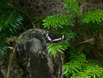 Limenitis camilla (Kleiner Eisvogel) / CH BE Hasliberg 1060 m, 02. 06. 2018 (Zucht)