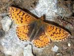 Boloria pales palustris (Fruhstorfer, 1909) (Hochalpen-Perlmuttfalter, Männchen) / CH VS Turtmanntal Gruben Gig-Oberstafel 2358 m, 27. 08. 2009