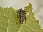 Agriopis aurantiaria (Orangegelber Breitflügelspanner, Weibchen) / CH BE Hasliberg,  25. 10. 2014