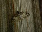 Catarhoe cuculata (Braunbinden-Blattspanner) / CH BE Hasliberg 1050 m, 20. 07. 2015