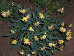 Anthyllis vulneraria (Fabaceae)