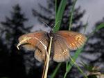 Erebia alberganus (Gelbäugiger oder Mandeläugiger Mohrenfalter, Weibchen, dasselbe wie vorher) / CH VS Zwischbergental 1485 m, 11. 07. 2008