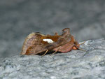 Autographa bractea (Quellhalden-Goldeule) / CH VS Biel (Gde. Grafschaft) 1312 m, 15. 08. 2013