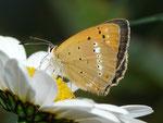 Lycaena virgaureae (Dukatenfalter, Weibchen) / CH VS Turtmanntal Hungerli Frilistafel 1922 m, 04. 08. 2016