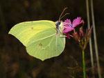 Gonepteryx rhamni (Zitronenfalter, Männchen) / CH TI Redondo-Sementina, 14. 10. 2010