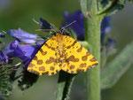Pseudopanthera macularia (Fleckenspanner oder Pantherfalter) / CH BE Hasliberg 1240 m, 05. 06. 2011