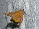 Selenia tetralunaria (Violettbrauner Mondfleckspanner 2. Generation, Männchen) / CH BE Hasliberg 1050 m, 06. 08. 2013