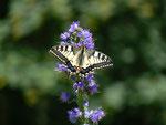 Papilio machaon (Schwalbenschwanz) / CH BE Hasliberg 1160 m, 04. 07. 2016