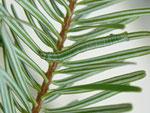 Pungeleria capreolaria (Brauner Nadelwaldspanner, gefundene Raupe) / CH BE Hasliberg 1050 m, 06. 06. 2013
