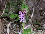 Vicia cracca (Vogelwicke) / Fabaceae