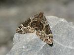 Ecliptopera silaceata (Braunleibiger Springkrautspanner) / CH BE Hasliberg 1050 m, 23. 05. 2014