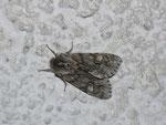 Brachionycha nubeculosa (Frühlings-Rauhhaareule) / CH BE Hasliberg 1240 m, 19. 04. 20§3