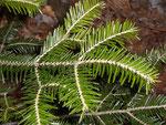 Abies ablba (Weisstanne) / Pinaceae