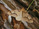 Erannis defoliaria (Grosser Frostspanner, Männchen) / CH BE Hasliberg Brünig 1050 m, 08. 11. 2013